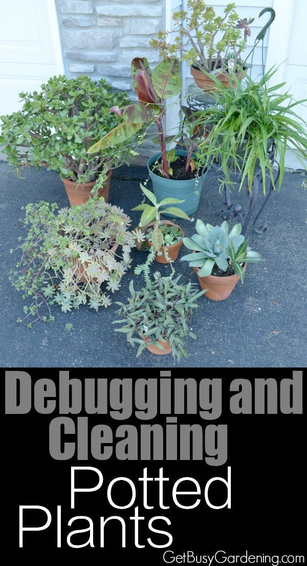 Debugging and cleaning potted plants before bringing them back inside is crucial. Follow these easy steps to avoid indoor houseplant bug problems.