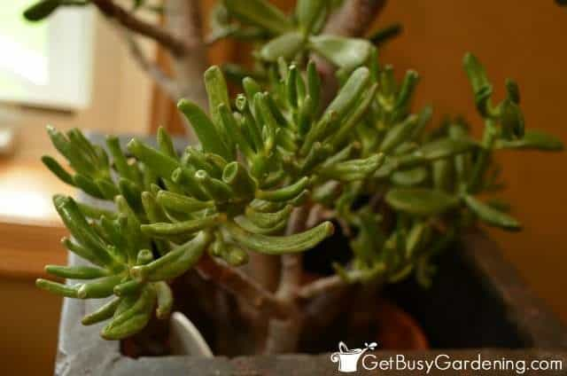 Gollum Variety Of Jade Plant houseplants