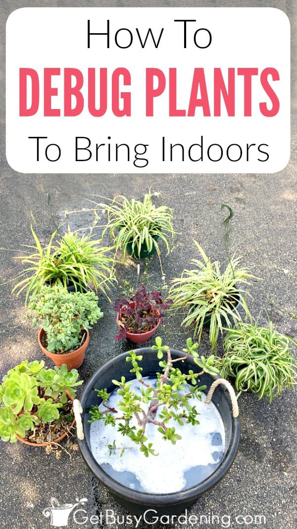 Debugging and cleaning potted plants before bringing them back inside is crucial. Follow these easy steps to bring outdoor plants inside without bugs.