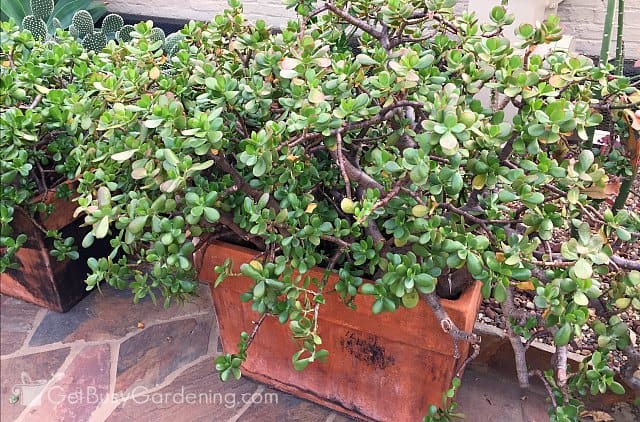 Huge Jade Indoor Succulent Plants