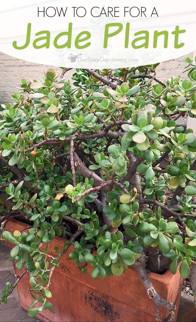 Jade plant care tips how to care for a jade plant for How to maintain garden plants