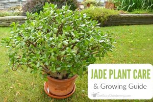 Jade Plant Care Tips: How To Care For A Jade Plant