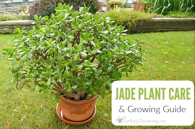 Jade Plant Care Tips How To Care For A Jade Plant