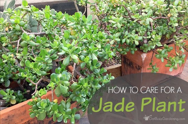 jade plant care: how to care for a jade plant indoors