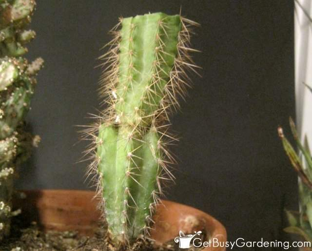 Cactus Rot Removed