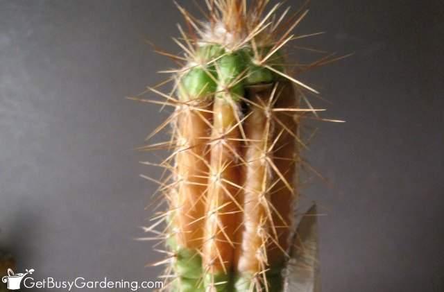 Cactus Tip Rotting