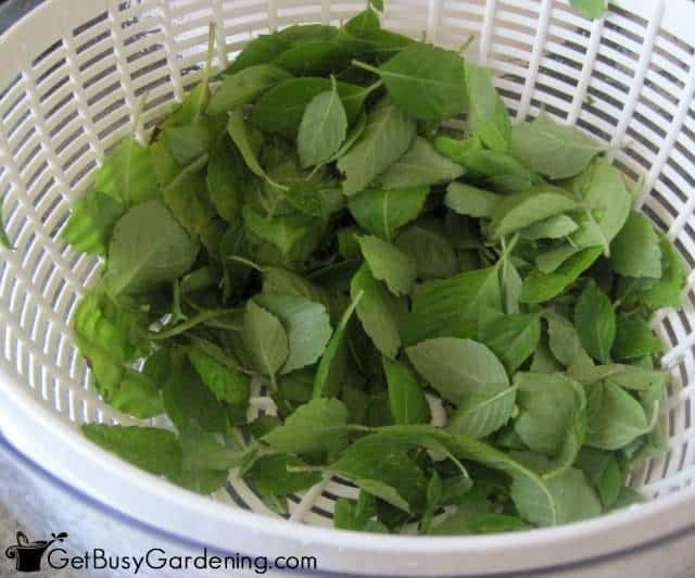 how to store cut basil