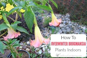 How To Overwinter Brugmansia Plants Indoors