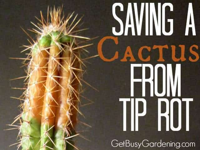 Saving A Cactus From Tip Rot