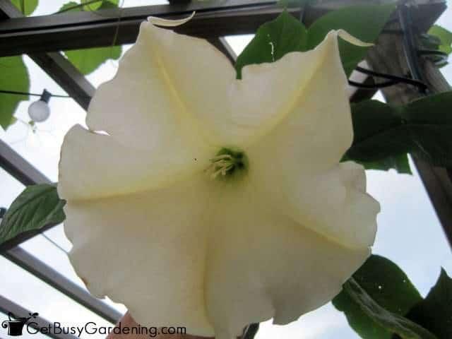 White brugmansia flower