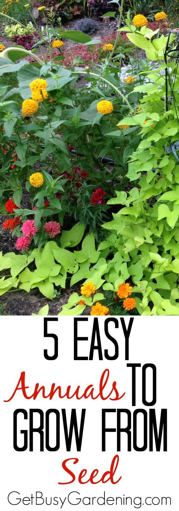 5 easy annuals to grow from seed these annual flowers are not only some of the easiest seeds to start its also izmirmasajfo