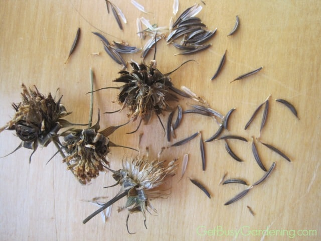 Cosmos Seeds