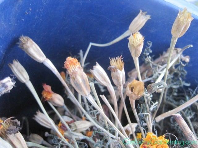 Dried Marigold Flower Heads