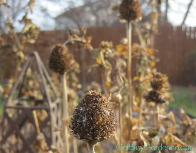 Dried Zinnia Flower Heads