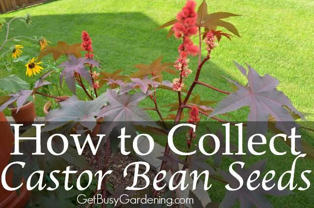 how to collect castor bean seeds from the garden