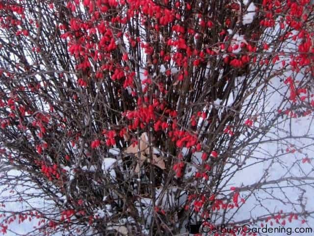 Birds Love Berries On Barberry Bush