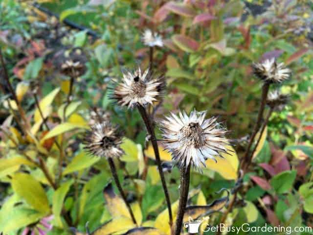 Birds Love Eating Cone Flower Seeds