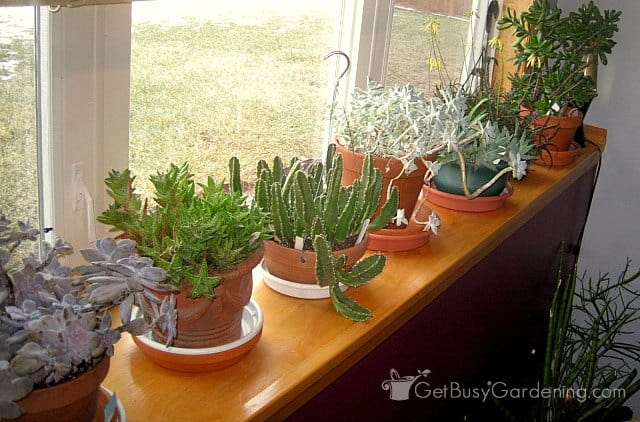 Growing succulents indoors on sunny window ledge