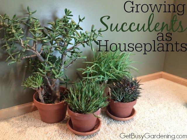 Growing Succulents As Houseplants