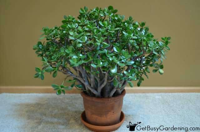 Succulent plant care growing succulents as houseplants Can succulents grow outside