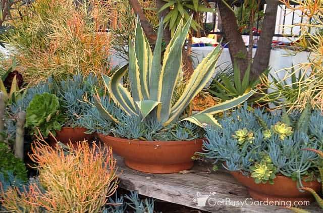 Large indoor succulents growing in terracotta bowls