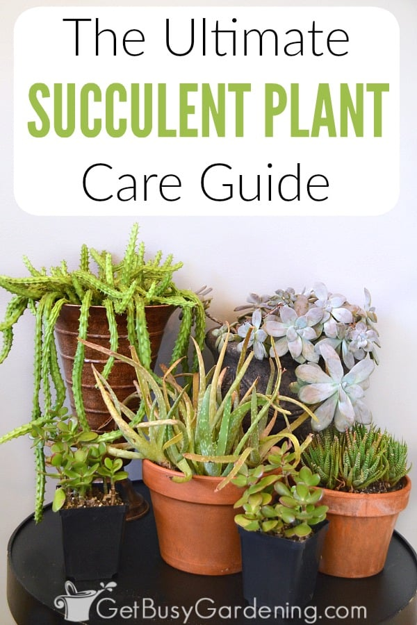 Succulent Plant Care Guide How To Take Care Of Succulent