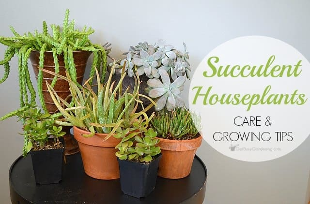 Succulent Plant Care: How To Take Care Of Succulents As Houseplants