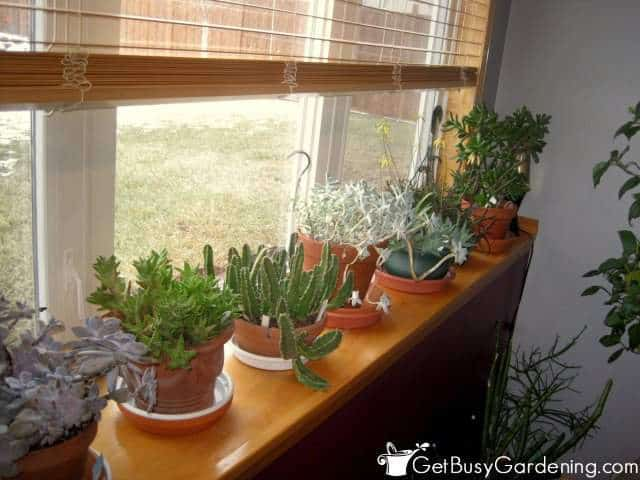 Succulent Houseplant Growing On Window Ledge