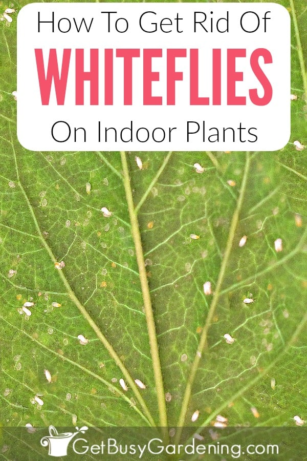 Whiteflies are tiny white bugs on plants that will fly around when you disturb the plant. Getting rid of whiteflies on houseplants can be tough, but it's not impossible! Follow these organic whitefly treatment methods to kill them, and learn how to prevent whiteflies from ever coming back!