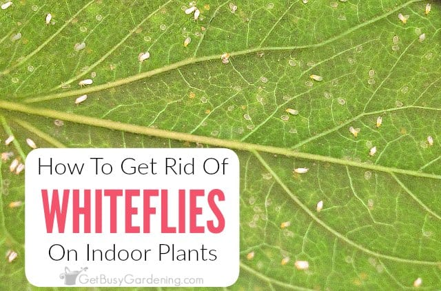 How To Get Rid Of Whiteflies On Indoor Plants, For Good!