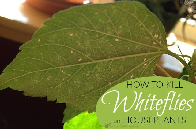 How to kill whiteflies on houseplants