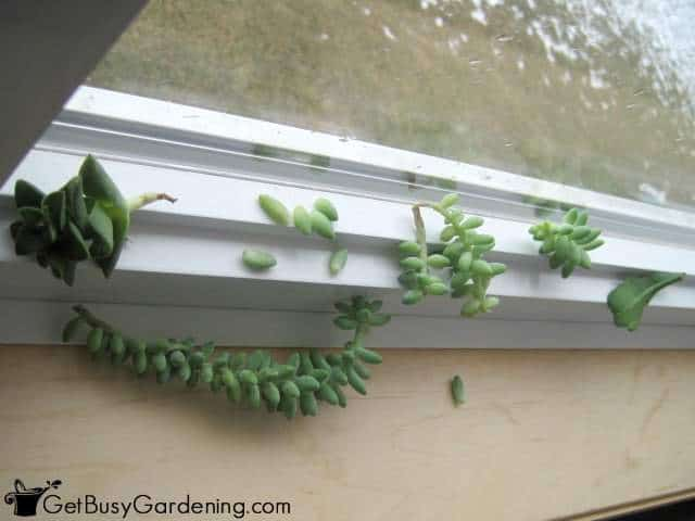 Rooting Succulents On Window Frame
