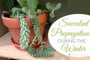 Succulent Propagation During The Winter