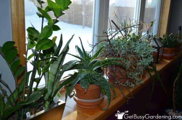 Succulents On Window Ledge