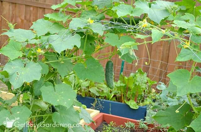 Cucumbers grown over DIY garden arch trellis