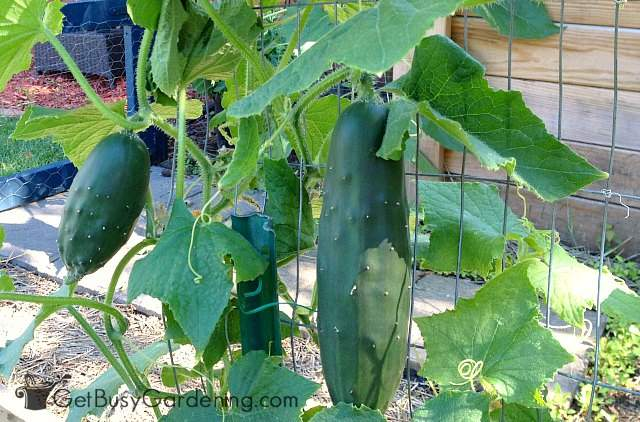 Cucumbers hanging from homemade trellis