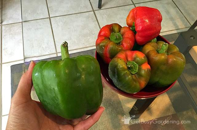 Green and red bell peppers grown from seed