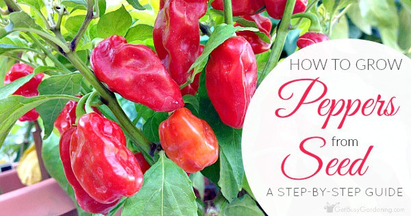 How to Grow Peppers from Seed: A Step-By-Step Guide