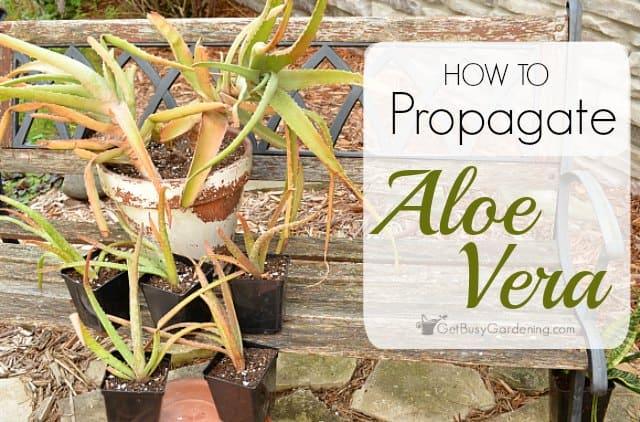 how to propagate aloe vera plants. Black Bedroom Furniture Sets. Home Design Ideas