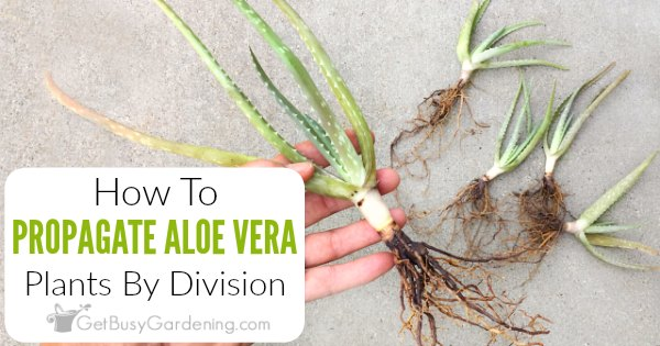 How To Propagate Aloe Vera By Division Get Busy Gardening