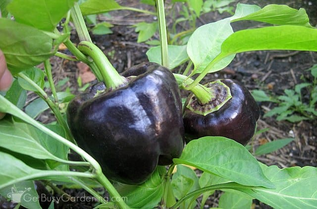 Purple bell pepper plant started from seed