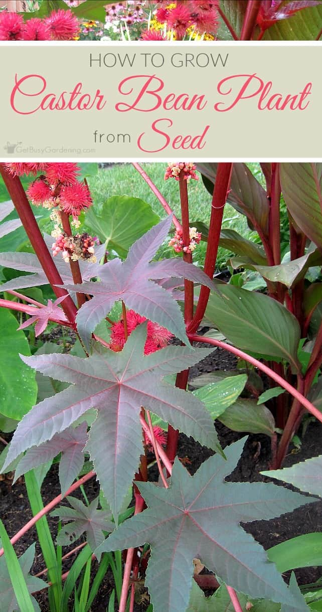 Germinating castor seeds can be tricky, but it's worth it to grow this gorgeous plant! Follow this step-by-step guide to grow castor bean plant from seed.