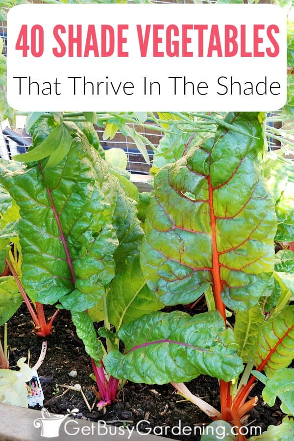 Can vegetables grow in shade? Yes! In fact, some even prefer the shade, and shade loving vegetables will suffer in the hot sun. Shade vegetable gardening isn't hard, and with this list of over 40 vegetables that grow in shade, you'll be able to use your garden space efficiently to grow all of the vegetables you want.