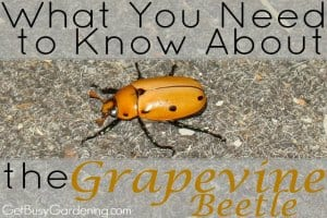 What You Need To Know About The Grapevine Beetle