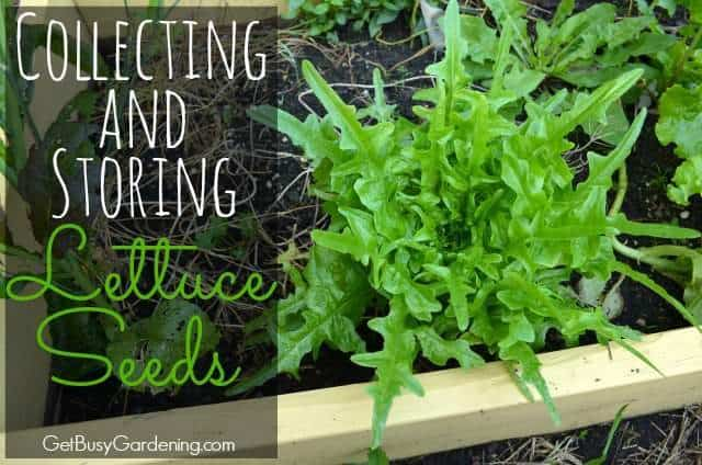 Collecting and storing lettuce seeds from your garden - How to store lettuce from garden ...