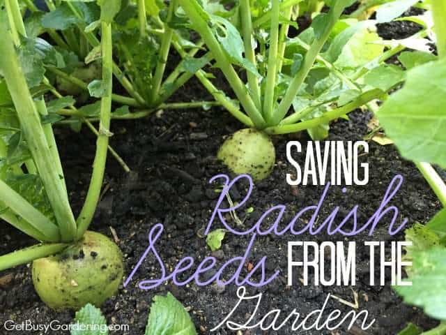 Saving Radish Seeds From The Garden Get Busy Gardening