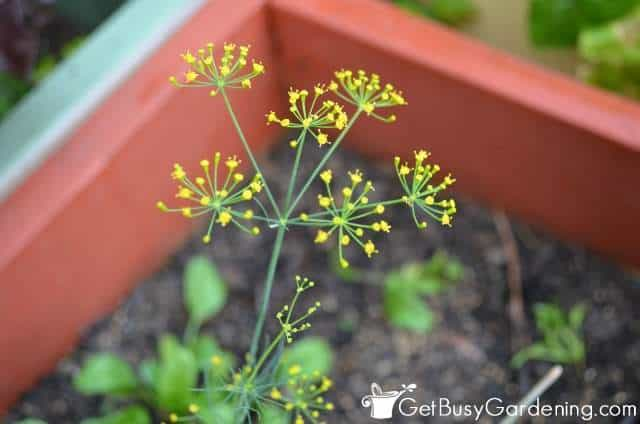 Dill flower going to seed