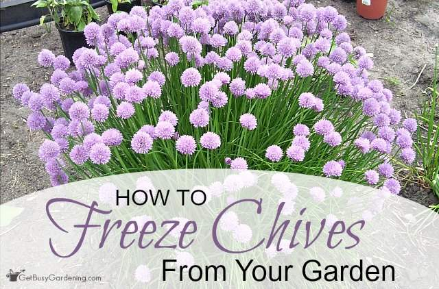 How to freeze chives from your garden