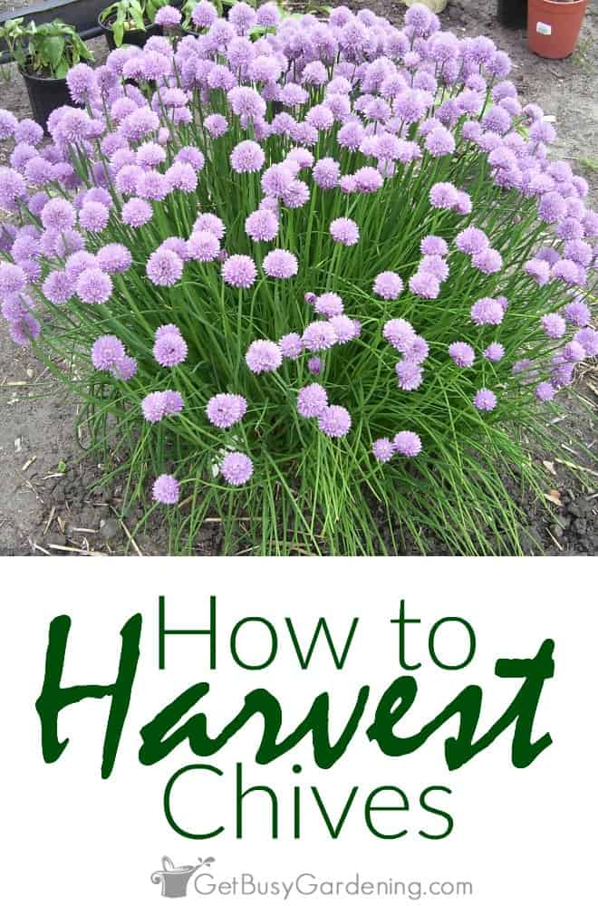 To avoid any woody parts, the best time for harvesting chives is either before they flower in the early spring, or after they're done flowering.