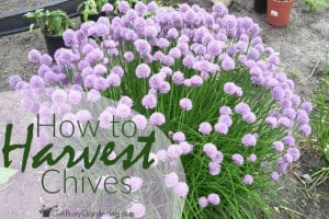 How to Harvest Chives From Your Garden